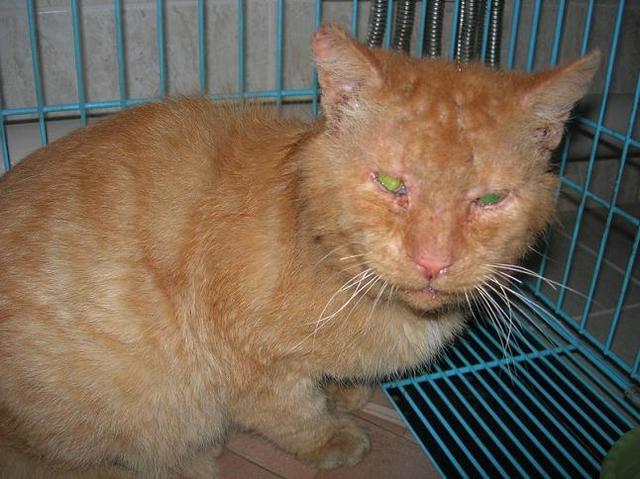 Как лечить чесотку у кошки в домашних условиях